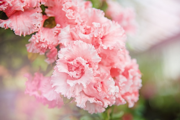 Bloeiende hybride azalia rhododendron hybridum-selectie in een kas. Premium Foto