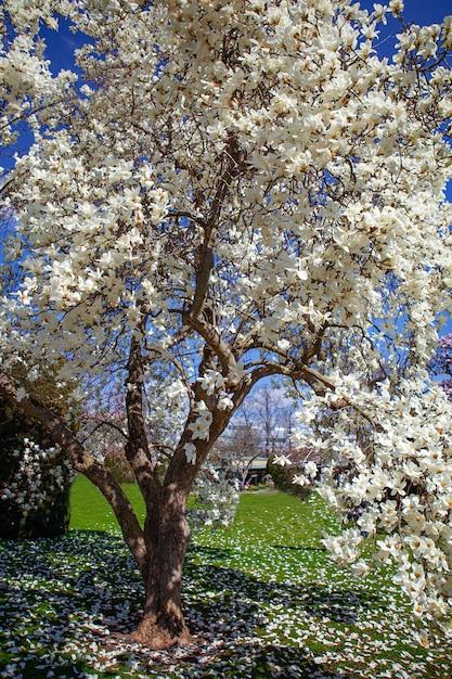 Bloeiende magnolia tulpenboom. Premium Foto