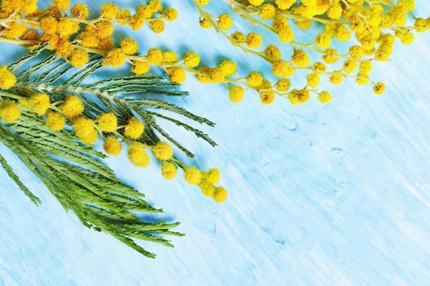 Bloeiende mimosa lentebloemen op blauw beton tak van gele mimosa close-up met kopie ruimte. selectieve aandacht. Premium Foto