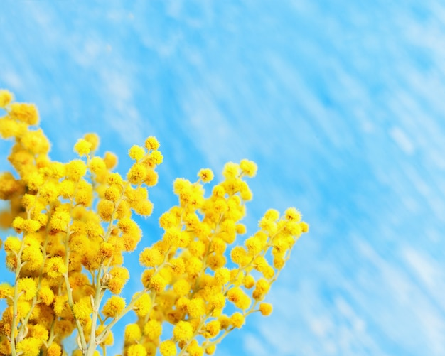 Bloeiende mimosa lentebloemen op blauwe achtergrond. tak van gele mimosa dichte omhooggaand met exemplaarruimte. selectieve aandacht. Premium Foto