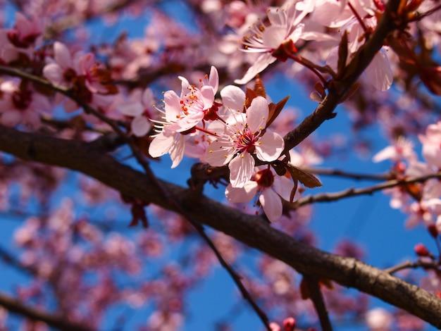 Bloeiende pruimeboom in de lente. Premium Foto