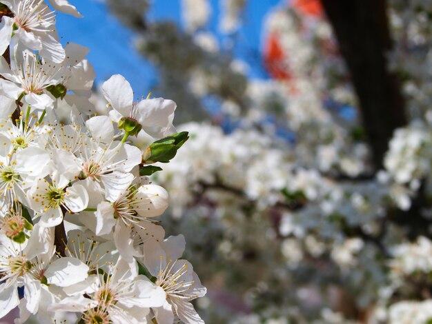 Bloeiende pruimenboom in de sping. Premium Foto