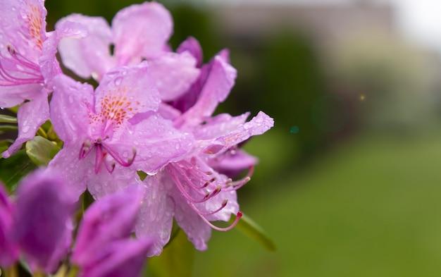 Bloeiende rododendron-tak op een onscherpe achtergrond Premium Foto