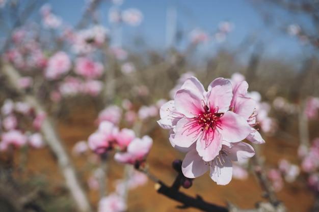 Bloeiende roze perzikbloesem met onduidelijk beeldachtergrond Premium Foto