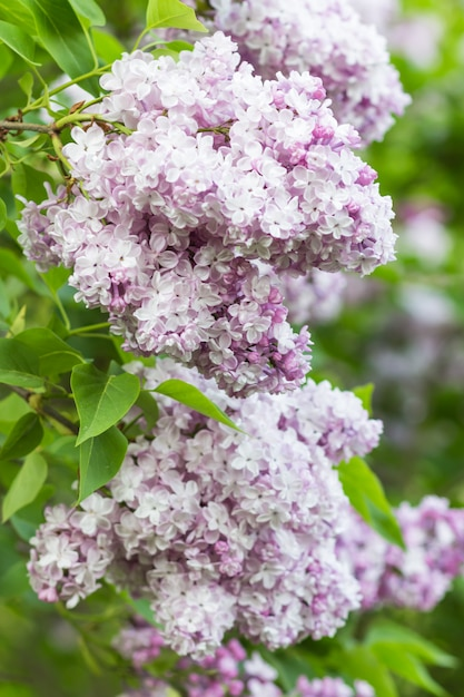 Bloeiende sering in de botanische tuin Premium Foto