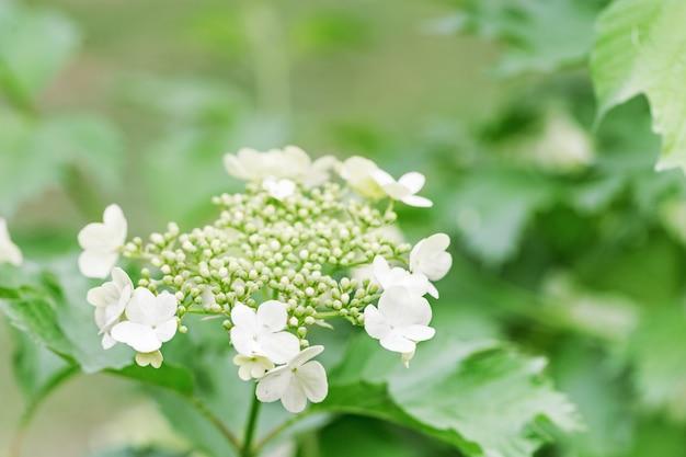 Bloeiende viburnumboom met witte bloemen. bloeiende tuinen in de lente. natuurlijke omgeving achtergrond. Premium Foto