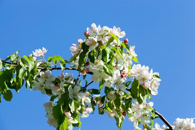 Bloeit in april en mei met prachtige kersenboombloemen. boomgaard, close-upfoto Premium Foto