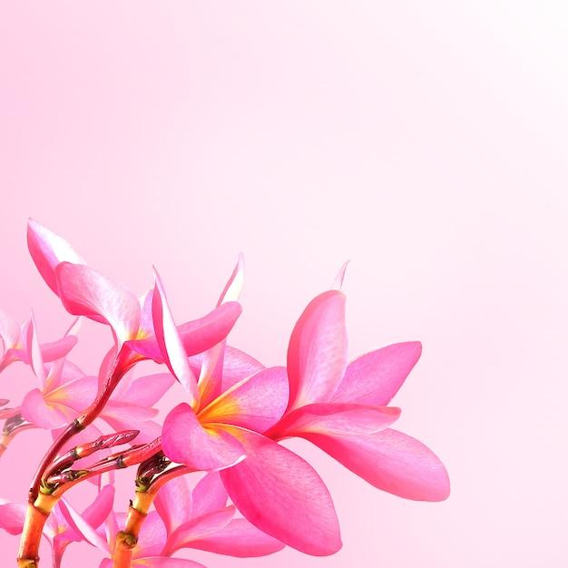 Bloem achtergrond. roze plumeriabloemen Premium Foto