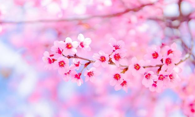 Bloem pink beautiful and wild himalayan cherry blossom of sakura Premium Foto