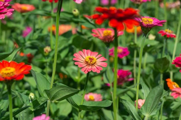 Bloemachtergrond, veel mooie en heldere kleuren van zinnia peruviana Premium Foto