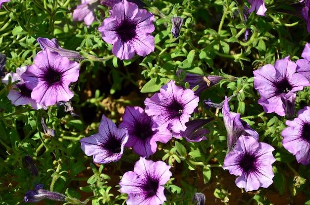 Bloembed met veelkleurige paarse en violette petunia's. Premium Foto