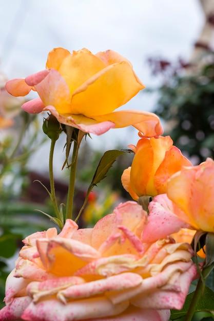 Bloemblaadjes van close-up de mooie rozen Gratis Foto