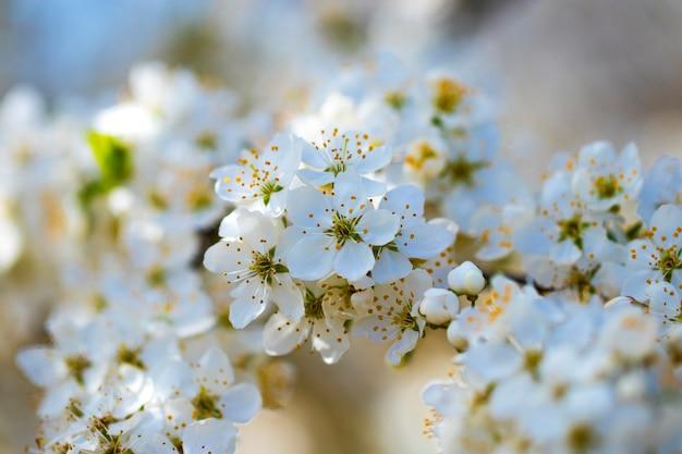 Bloemen van de kersenbloesem op een lentedag Premium Foto