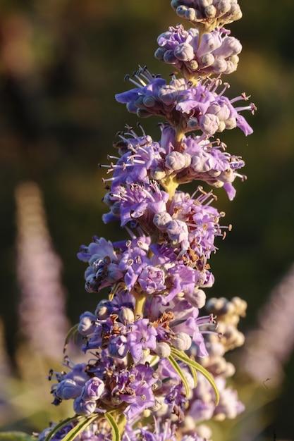 Bloemen van kuise boom vitex agnus-castus, Gratis Foto