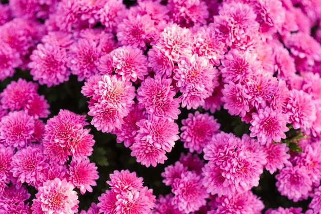 Bloemenachtergrond van roze chrysanten die in de herfsttuin bloeien Premium Foto