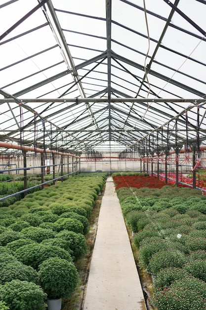 Bloemenproductie en -teelt. veel chrysantenbloemen in de kas. chrysanthemum plantage Gratis Foto