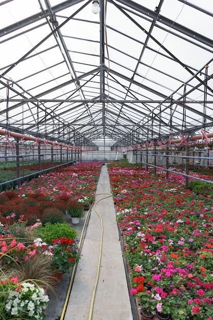 Bloemenproductie en -teelt. veel geraniums en chrysanten bloeien in de kas. Gratis Foto