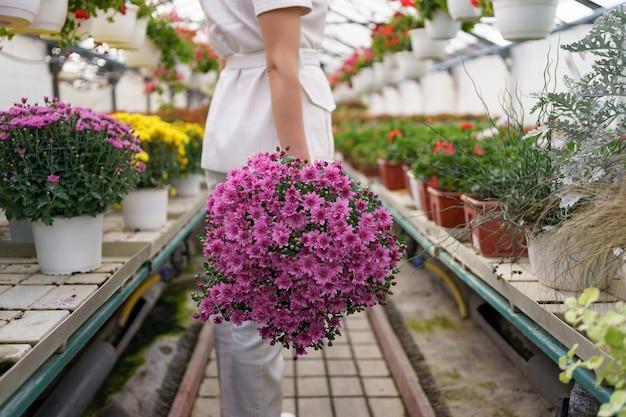Bloemist in haar kwekerij met een pot met chrysanten in haar handen terwijl ze door de kas loopt Gratis Foto