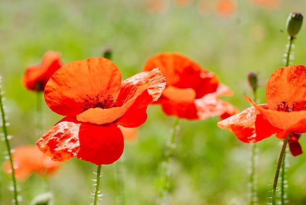 Bloempapaver bloeiend Premium Foto