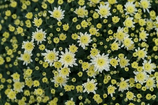 Bluming gele val chrysant abstracte textuur Gratis Foto