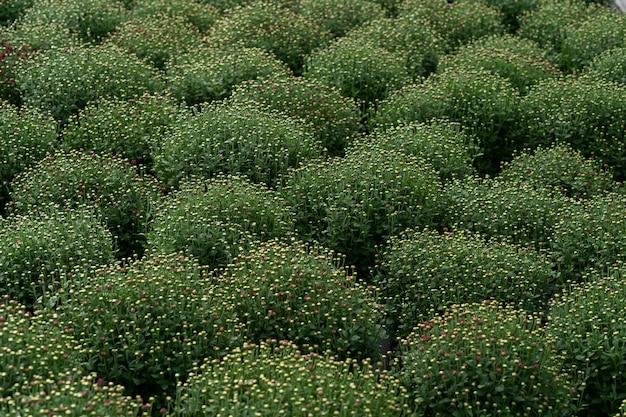 Bluming groene verse chrysant abstracte textuur Gratis Foto