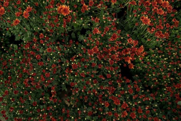 Bluming rode val chrysant abstracte textuur Gratis Foto
