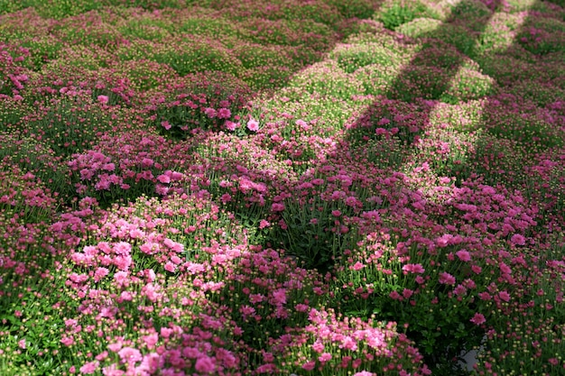 Blumming roze herfstchrysant met zonnestralen die erop reflecteren Gratis Foto