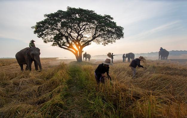 Boer en olifanten op rijst veld oogst doen Premium Foto