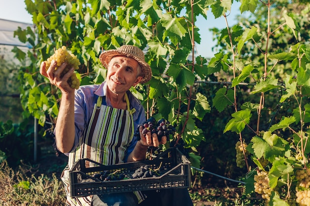 Boer plukken oogst van druiven op ecologische boerderij. gelukkige hogere mens die groene en blauwe druiven plukt Premium Foto