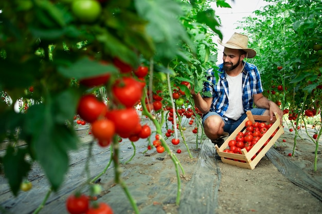 Boer plukken verse rijpe tomatengroenten en brengen in houten kist Gratis Foto