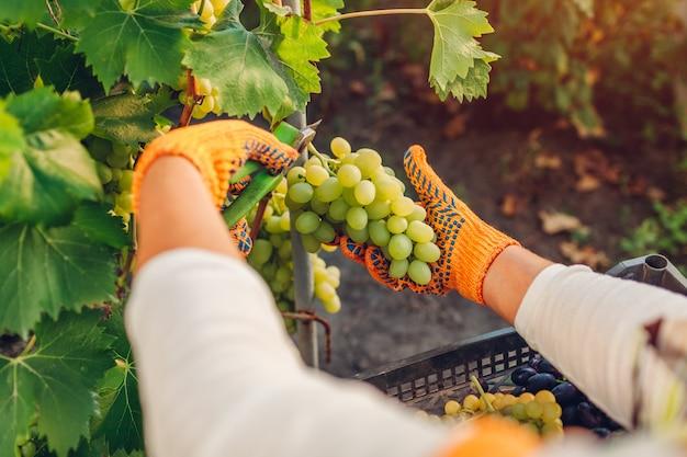 Boer verzamelen oogst van druiven op ecologische boerderij. de vrouw snijdt groene tafeldruiven met pruner Premium Foto