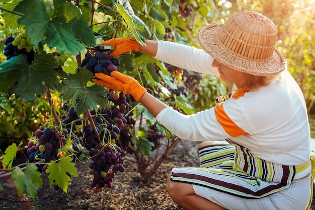 Boer verzamelen oogst van druiven op ecologische boerderij. vrouw die blauwe tafeldruiven met pruner snijdt Premium Foto