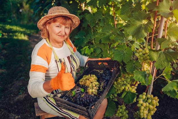 Boer verzamelen oogst van druiven op ecologische boerderij. Premium Foto