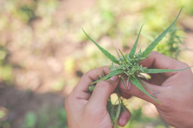 Boeren houden marihuana (cannabis) bomen op hun boerderijen. Gratis Foto