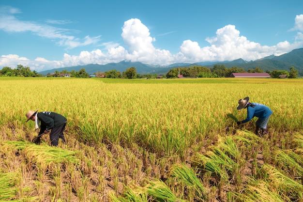 Boeren oogsten rijst in de hete zon: nan, thailand, 25 oktober 2018 Premium Foto