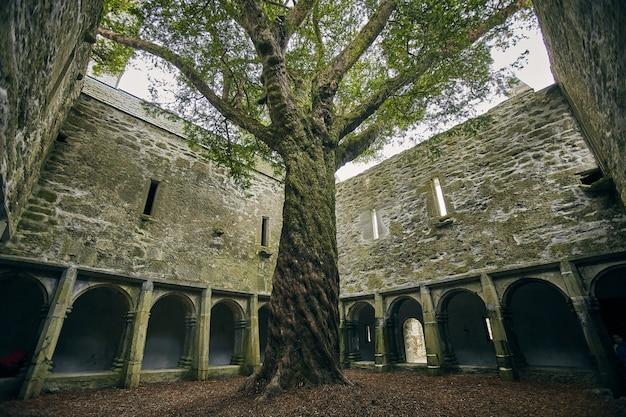 Boom in de tuin van de muckross abbey in het zonlicht in killarney national park, ierland Gratis Foto
