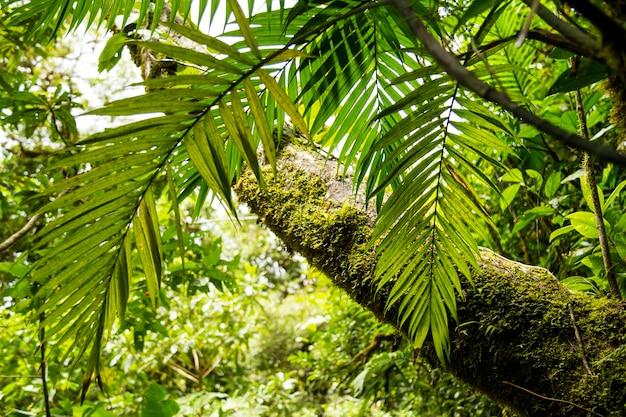 Boom met mos in een groen bos in costa rica Premium Foto