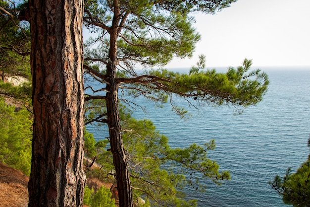 Boomstam aan zee. dennenbos. Premium Foto