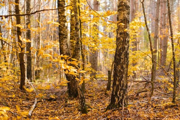 Boomstammen van berkentakken in het de herfst gele bos Premium Foto