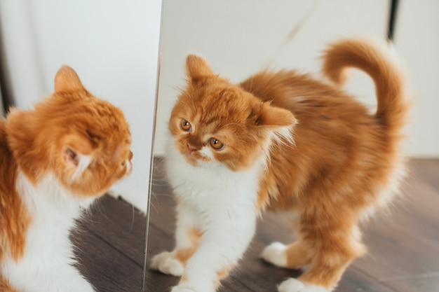 Boos gemberkatje bij de spiegel. het kitten kijkt naar de spiegel. Premium Foto