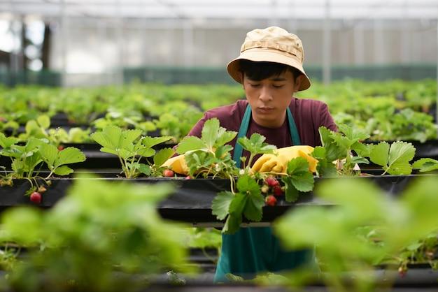 Borst omhoog geschoten van jonge boer die aardbei in een grote serre cultiveren Gratis Foto