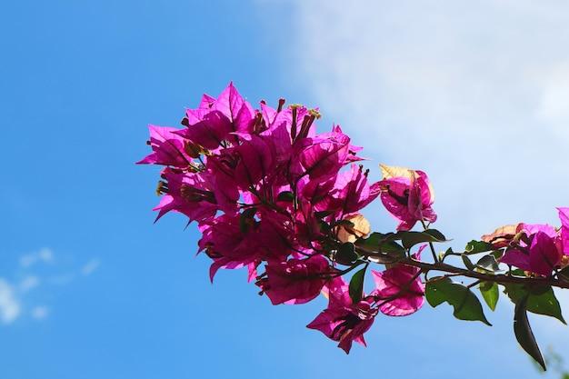 Bos van de levendige roze bloem van bougainvillea van de kleur tegen zonnige blauwe hemel Premium Foto