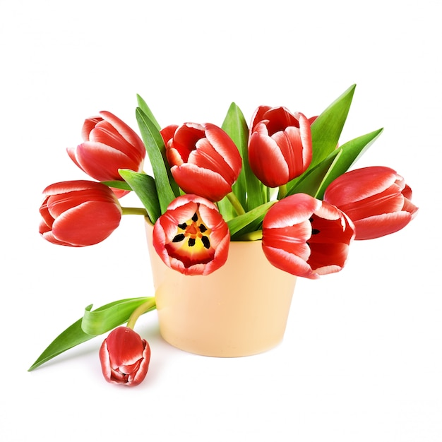 Bos van rode tulpen met witte randen geïsoleerd op wit Premium Foto