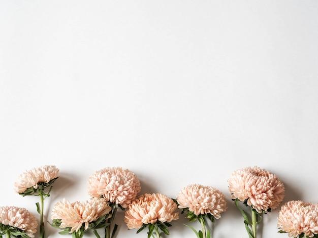 Botanische bloemengrens van de herfst seizoengebonden bloemen - perziksters op witte achtergrond. bovenaanzicht kopie ruimte Premium Foto