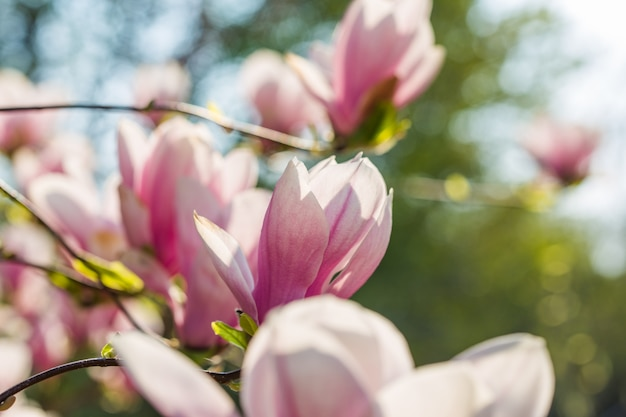 Botanische tuin concept. tak van magnolia. magnolia bloemen. de magnolia bloeit dichte omhooggaand als achtergrond. tedere bloei. floral achtergrond. aroma en geur. lente seizoen. plantkunde en tuinieren Premium Foto
