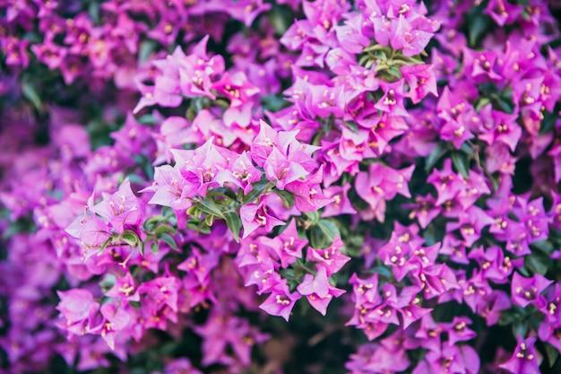 Bougainvillea bloeit textuur en achtergrond. rode bloemen van bougainvilleaboom. sluit omhoog mening van bougainvillea rode bloem. kleurrijke purpere bloementextuur en achtergrond voor ontwerpers Premium Foto