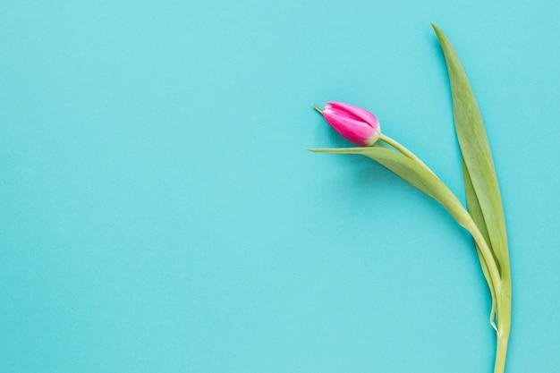 Bovenaanzicht geïsoleerde tulpenbloem op blauwe exemplaar ruimteachtergrond Gratis Foto