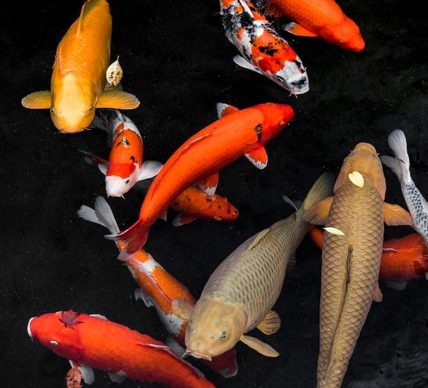 Bovenaanzicht koivissen zwemmen Gratis Foto