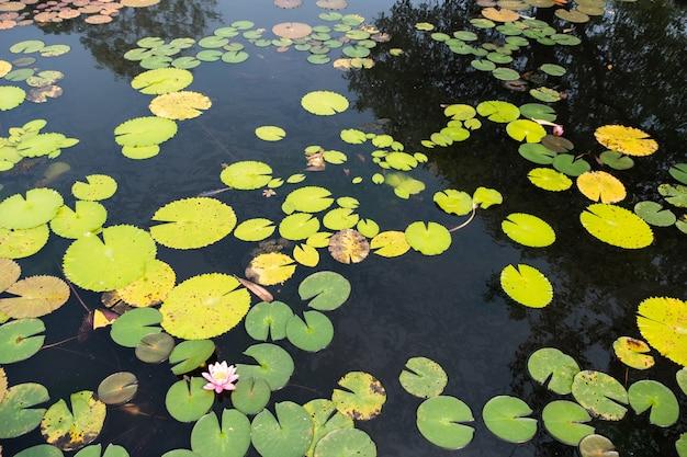 Bovenaanzicht landschap van lotus vijver. kleurrijk van lotusvijver - afbeelding Premium Foto