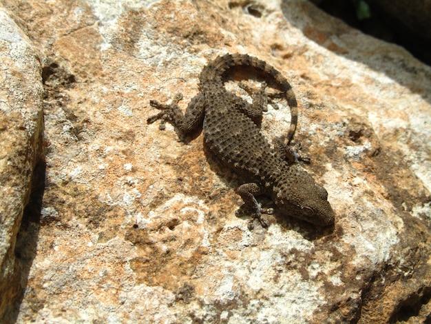 Bovenaanzicht shot van een moorse gekko op een rots op een zonnige dag Gratis Foto